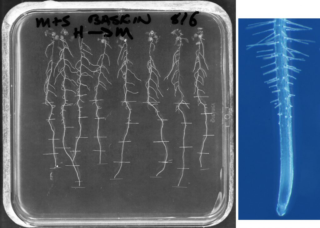 Fig. 1  On the left, a scan of a square Petri dish, filled with agar medium, on which are growing arabidopsis seedlings, about 10 days old. The plate is 10 cm x 10 cm. On the right, a micrograph of a root tip. The diameter of the root is about 0.12 mm.