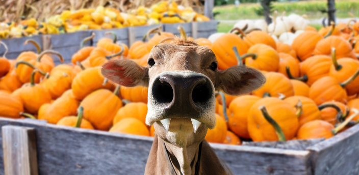The Moodle cow with vampire in front of a wagon of pumpkins