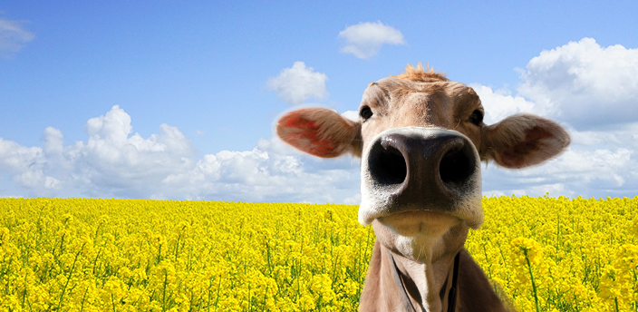 The Moodle cow in a field of yellow flowers on a sunny day.