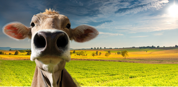 brown cow face to the right side of the image, with a green lad of background, blue sky and sunny day.