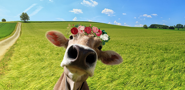 Cow with flower crown with a green field background