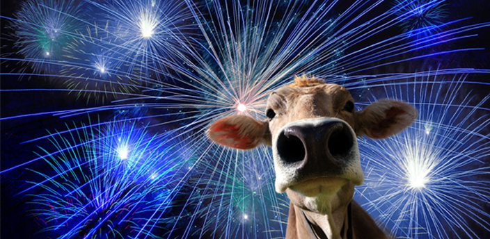 Night sky background with Fireworks and a brown cow in a front layer.