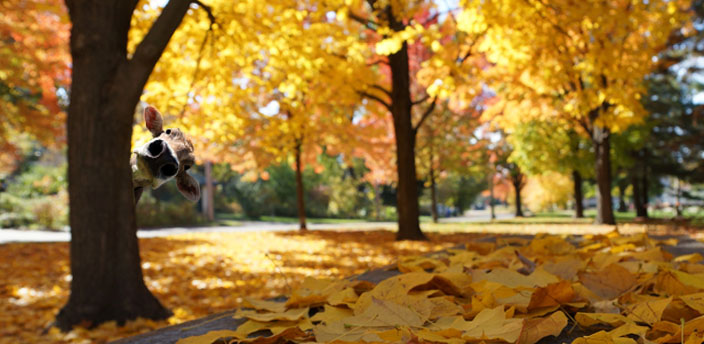 Fall bacground with yellow trees, and yellow leaves on the floor. A caw torso poping out from a tree at the left.