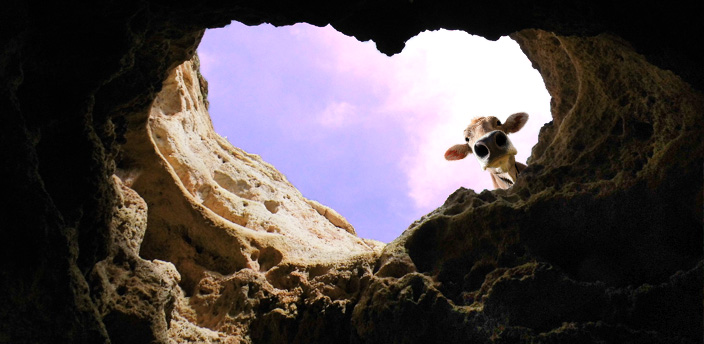 Cow face in a heart-shaped cave opening with a purple sky behind it.