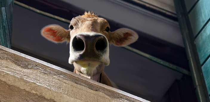moodle cow looking out of a window at the reader down below.