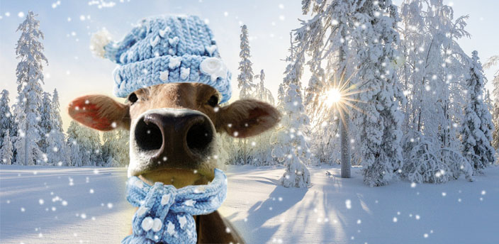 Cow bust in the snow with a light blue hat and scarf