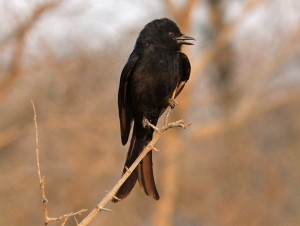 Fork-tailed_Drongo_RWD