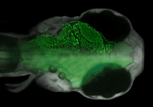 http://www.hhmi.org/research/zebrafish-systems-neuroscience-whole-brain-analysis-neural-circuits-underlying-learned
