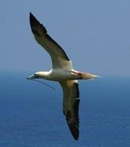 Sula bird (© Lynn Weinert)