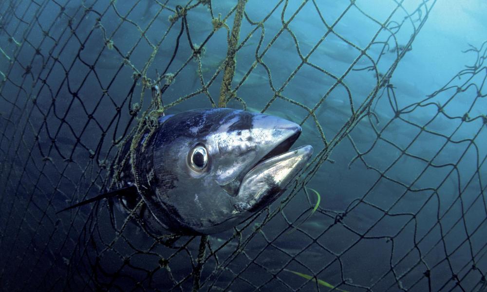 Overfishing atlantic bluefin tuna