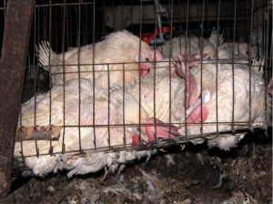 Laying hens housed in a typical battery cagehttp://upload.wikimedia.org/wikipedia/commons/thumb/0/03/Animal_Abuse_Battery_Cage_01.jpg/220px-Animal_Abuse_Battery_Cage_01.jpg