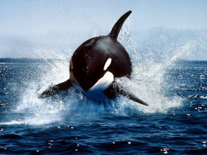 Orca whale in the wild (Lacz)