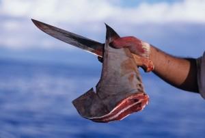 The objective of shark finning: the fin. (Ocean.si.edu)