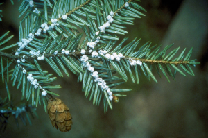 Figure 2: Sample of HWA infestation on needles of eastern hemlock (SOURCE).