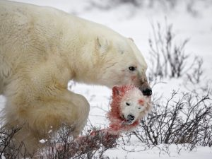 A polar bear carries away it's meal for the day--a young cub. Image retrieved from: http://www.trvl.com/cache/img/c-1024-768/wp-content/uploads/2012/09/047-130136481-11.jpg