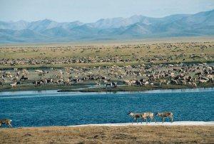 Alaska. Arctic National Wildlife Refuge ANWR . Porcupine Caribou Herd. Caribou (Rangifer tarandus).