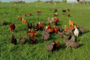Free range laying hens, happily going about their business. (Eat Drink Better 2011).