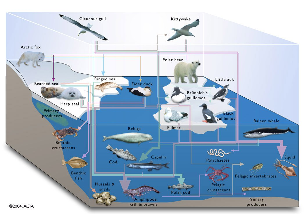 A flow chart showing complex marine trophic interactions. http://www.coolaustralia.org/arctic-food-web-climate-change/