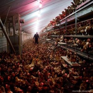 Un-ideal free-range system 'Survival Gardner'. (2015, 18 August). Free-range eggs versus regular eggs - a scam? Retrieved from http://survivalgardener.com/2015/08/free-range-eggs-vs-regular-eggs-a-scam/