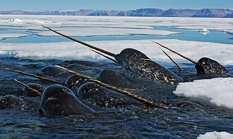 A group of narwhals hunt for prey amidst the seasonal sea-ice.  https://www.sott.net/article/156708-Mysterious-Arctic-whale-under-threat-from-changing-habitat