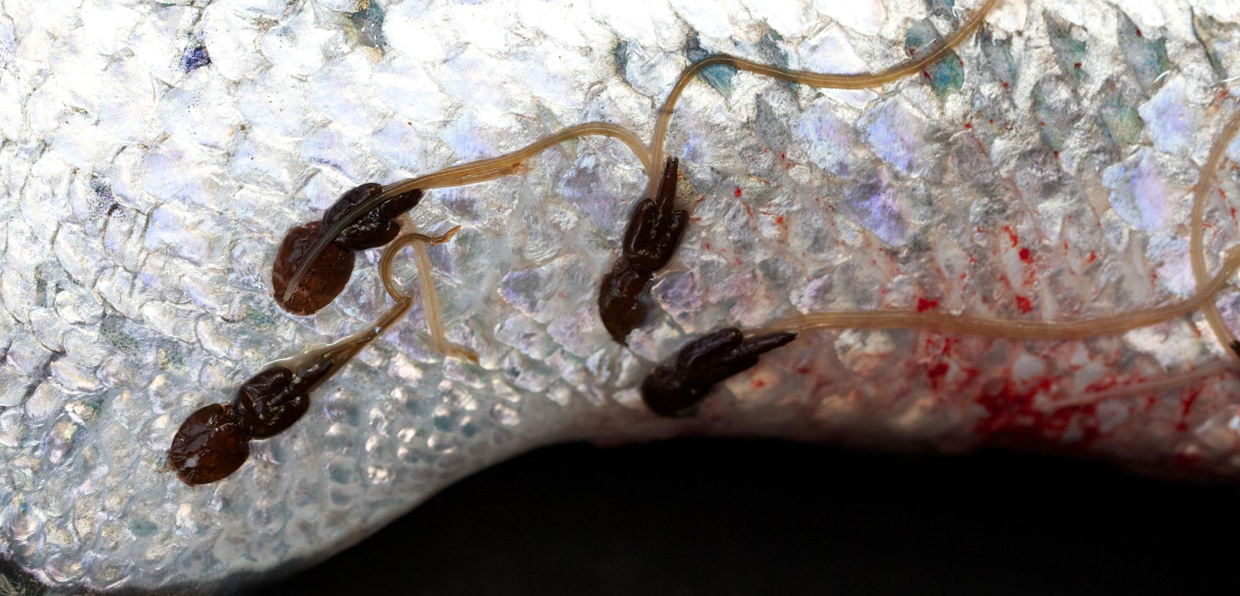 Agriculture – Debating Science Atlantic Salmon Parasite