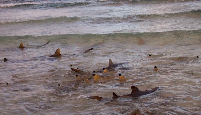 Suwarrow atoll island reach for Shark fishing from shore